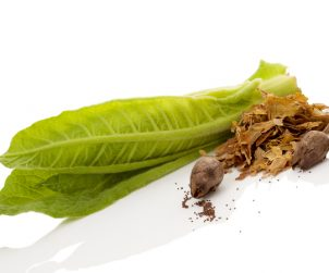 Dua lembar daun tembakau