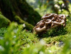 Jamur Maitake liar di hutan